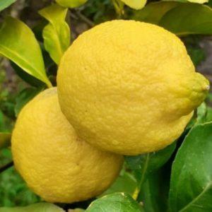 Limoni in cassetta Sicilia Bio Natura