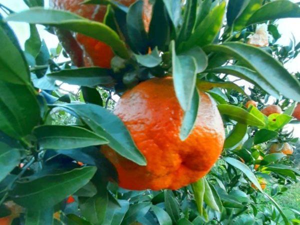 Mandarini in cassetta Sicilia Bio Natura